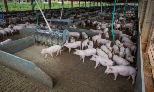 Granja de suínos, Suinocultura, porcos,suínos