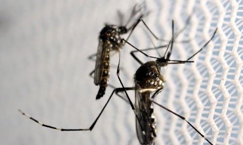 Mosquitos de Aedes aegypti são vistos no laboratório da Oxitec em Campinas