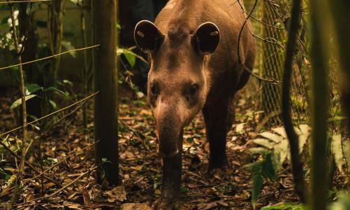 Anta Jasmim é solta na Reserva Ecológica de Guapiaçu para preservação da espécie