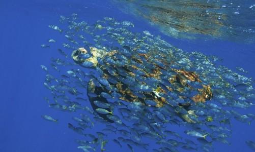 Praia do Forte (BA) - O Projeto Tamar comemora 33 anos com a soltura do filhote de número 15 milhões simbolizando o número de tartaruguinhas soltas no mar desde a criação do projeto (Projeto Tamar/Abr)